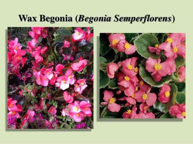 Wax Begonia (Begonia Semperflorens)