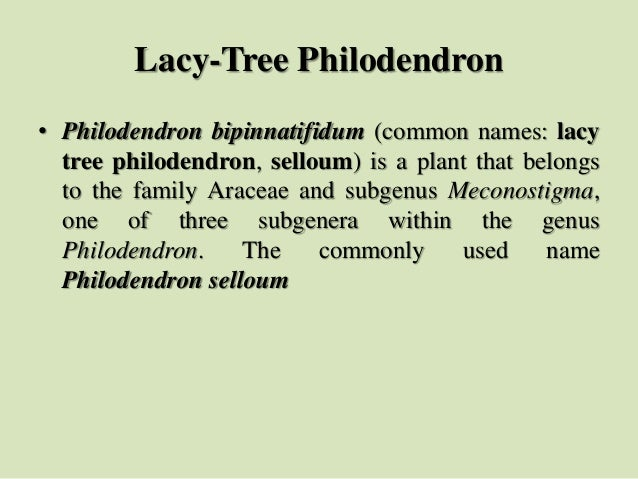 Lacy-Tree Philodendron • Philodendron bipinnatifidum (common names: lacy tree philodendron, selloum) is a plant that belon...