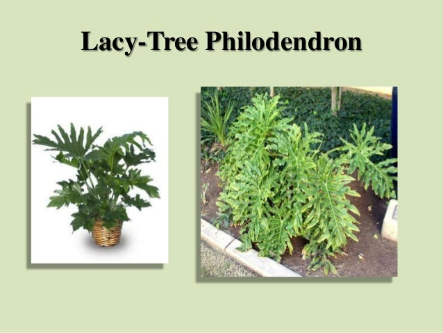 Lacy-Tree Philodendron