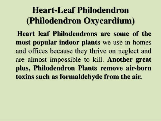 Heart-Leaf Philodendron (Philodendron Oxycardium) Heart leaf Philodendrons are some of the most popular indoor plants we u...