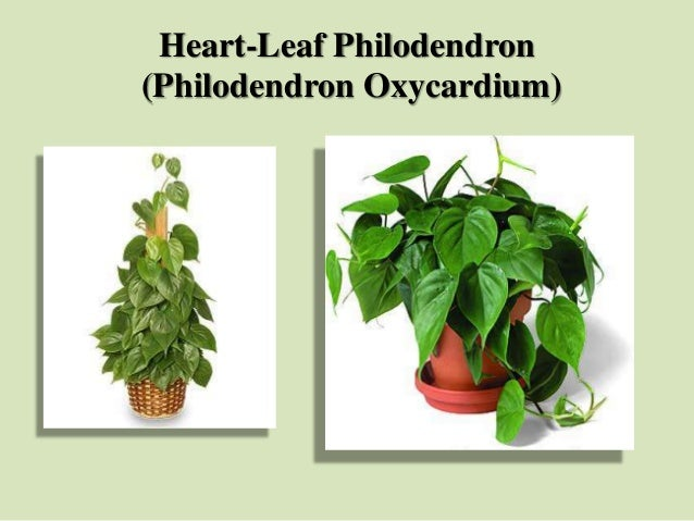 Heart-Leaf Philodendron (Philodendron Oxycardium)