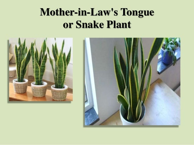 Mother-in-Law's Tongue or Snake Plant