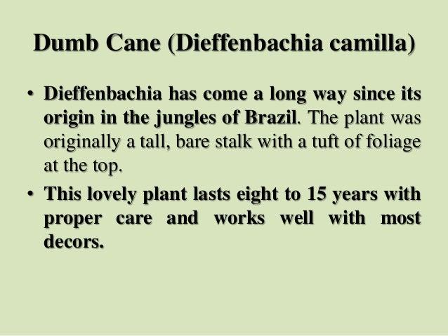 Dumb Cane (Dieffenbachia camilla) • Dieffenbachia has come a long way since its origin in the jungles of Brazil. The plant...