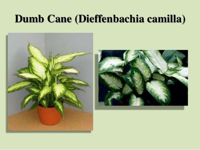Dumb Cane (Dieffenbachia camilla)
