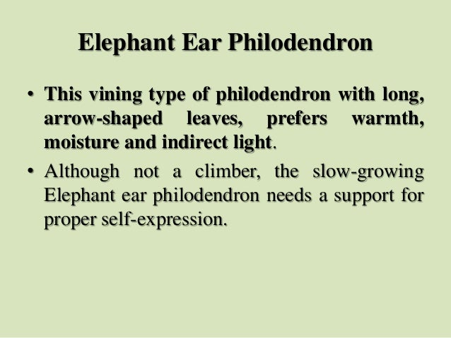Elephant Ear Philodendron • This vining type of philodendron with long, arrow-shaped leaves, prefers warmth, moisture and ...