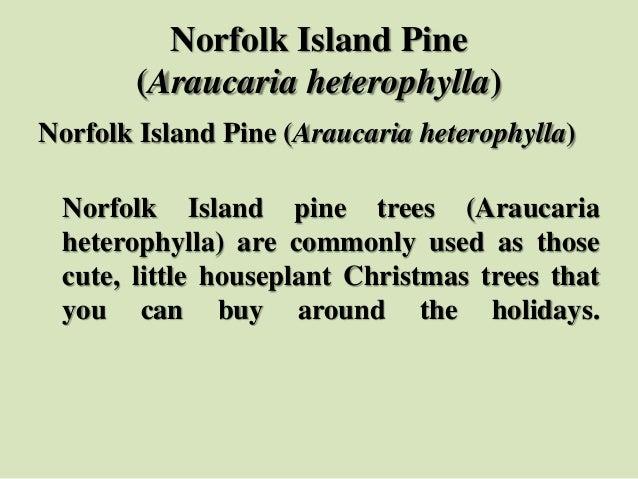 Norfolk Island Pine (Araucaria heterophylla) Norfolk Island Pine (Araucaria heterophylla) Norfolk Island pine trees (Arauc...