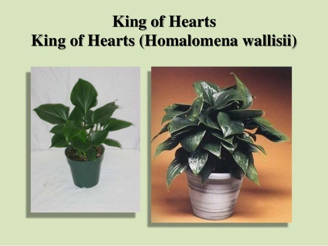 King of Hearts King of Hearts (Homalomena wallisii)