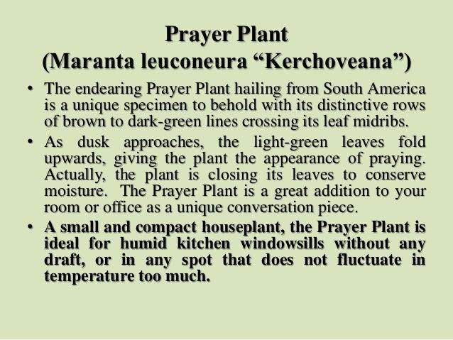 "Prayer Plant (Maranta leuconeura ""Kerchoveana"") • The endearing Prayer Plant hailing from South America is a unique specim..."