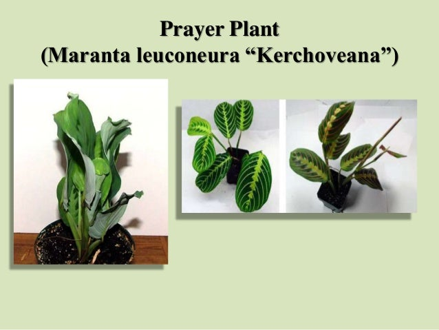 "Prayer Plant (Maranta leuconeura ""Kerchoveana"")"