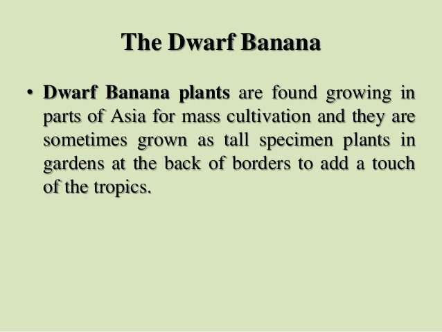 The Dwarf Banana • Dwarf Banana plants are found growing in parts of Asia for mass cultivation and they are sometimes grow...
