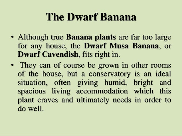 The Dwarf Banana • Although true Banana plants are far too large for any house, the Dwarf Musa Banana, or Dwarf Cavendish,...