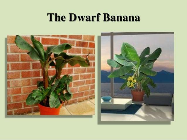 The Dwarf Banana