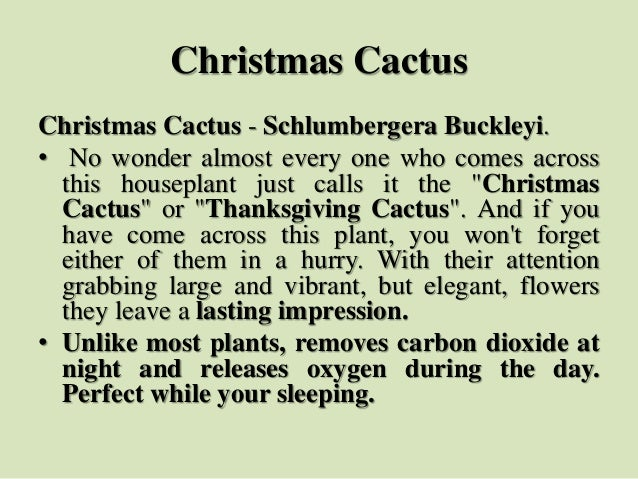 Christmas Cactus Christmas Cactus - Schlumbergera Buckleyi. • No wonder almost every one who comes across this houseplant ...