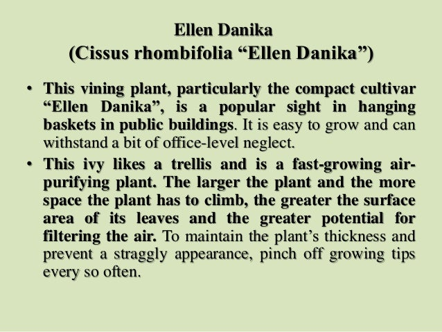 "Ellen Danika (Cissus rhombifolia ""Ellen Danika"") • This vining plant, particularly the compact cultivar ""Ellen Danika"", is..."
