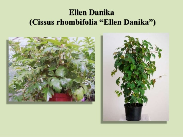 "Ellen Danika (Cissus rhombifolia ""Ellen Danika"")"