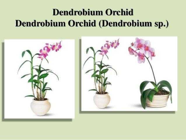 Dendrobium Orchid Dendrobium Orchid (Dendrobium sp.)
