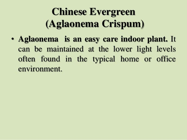 Chinese Evergreen (Aglaonema Crispum) • Aglaonema is an easy care indoor plant. It can be maintained at the lower light le...