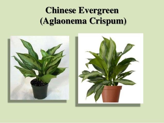Chinese Evergreen (Aglaonema Crispum)