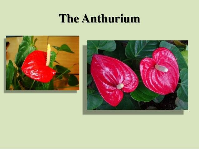 The Anthurium