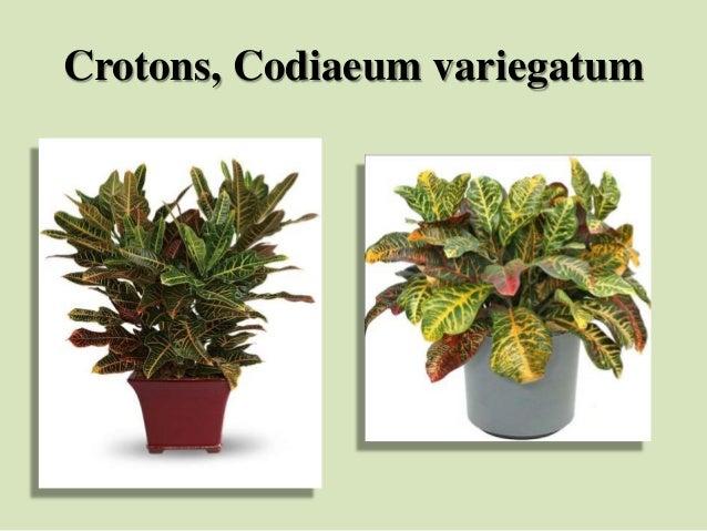 Crotons, Codiaeum variegatum