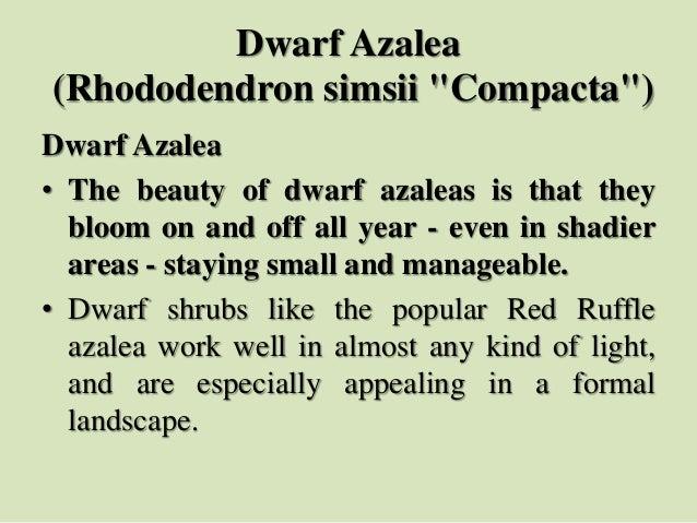 "Dwarf Azalea (Rhododendron simsii ""Compacta"") Dwarf Azalea • The beauty of dwarf azaleas is that they bloom on and off all..."