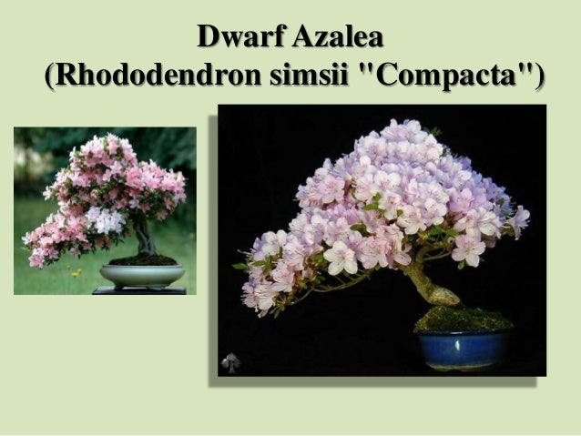 "Dwarf Azalea (Rhododendron simsii ""Compacta"")"