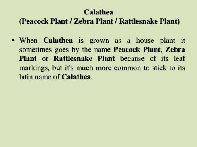 Calathea (Peacock Plant / Zebra Plant / Rattlesnake Plant) • When Calathea is grown as a house plant it sometimes goes by ...