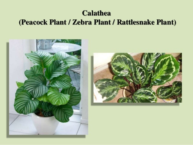 Calathea (Peacock Plant / Zebra Plant / Rattlesnake Plant)