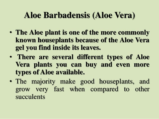 Aloe Barbadensis (Aloe Vera) • The Aloe plant is one of the more commonly known houseplants because of the Aloe Vera gel y...