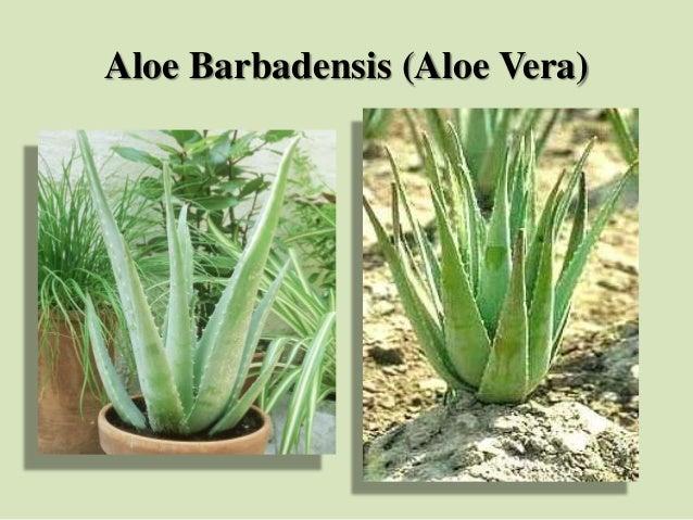 Aloe Barbadensis (Aloe Vera)