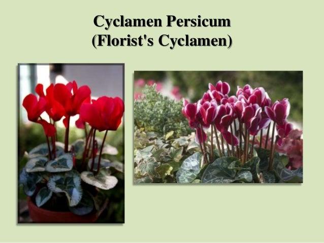 Cyclamen Persicum (Florist's Cyclamen)