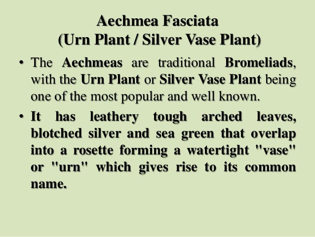 Aechmea Fasciata (Urn Plant / Silver Vase Plant) • The Aechmeas are traditional Bromeliads, with the Urn Plant or Silver V...