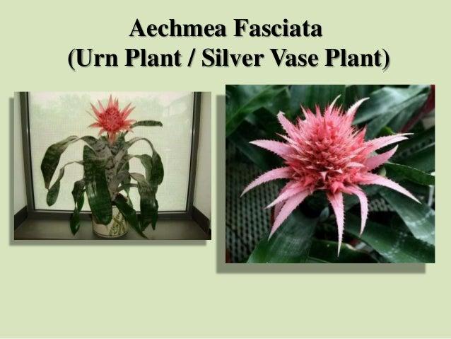 Aechmea Fasciata (Urn Plant / Silver Vase Plant)
