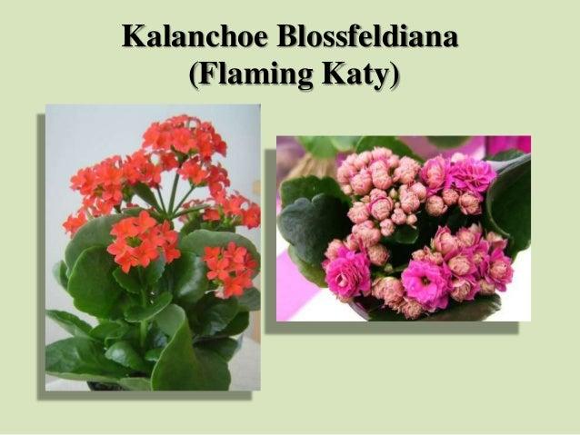 Kalanchoe Blossfeldiana (Flaming Katy)