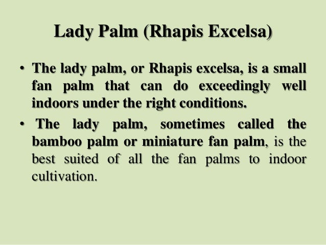 Lady Palm (Rhapis Excelsa) • The lady palm, or Rhapis excelsa, is a small fan palm that can do exceedingly well indoors un...