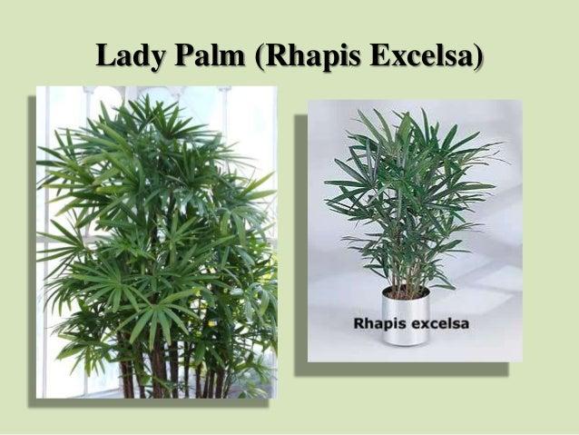 Lady Palm (Rhapis Excelsa)