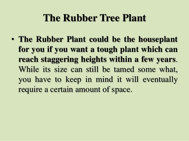 The Rubber Tree Plant • The Rubber Plant could be the houseplant for you if you want a tough plant which can reach stagger...