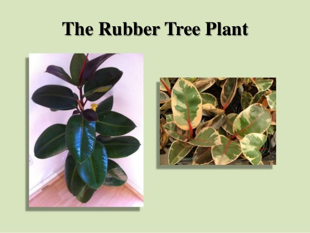 The Rubber Tree Plant
