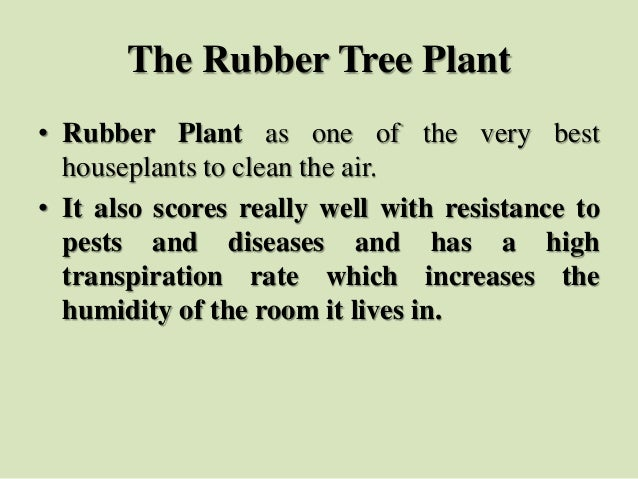 The Rubber Tree Plant • Rubber Plant as one of the very best houseplants to clean the air. • It also scores really well wi...