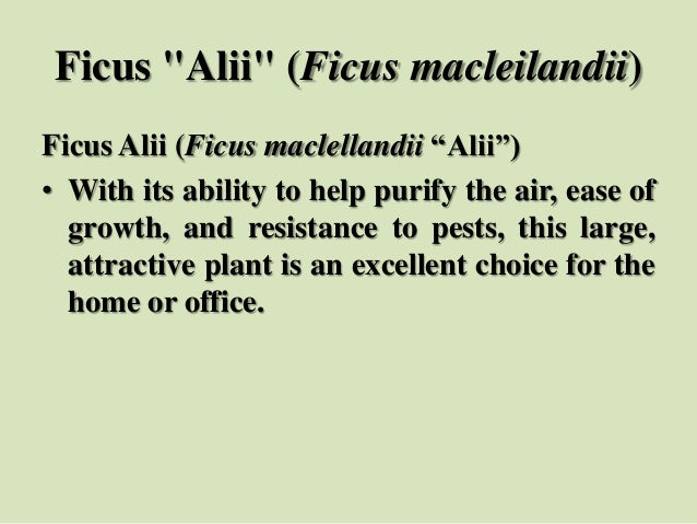 """Ficus """"Alii"""" (Ficus macleilandii) Ficus Alii (Ficus maclellandii """"Alii"""") • With its ability to help purify the air, ease o..."""