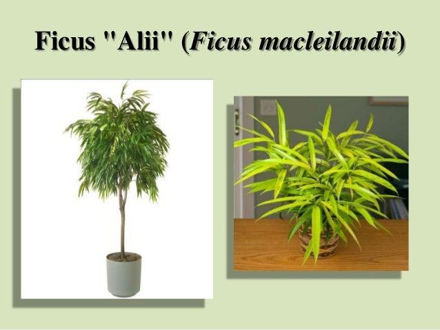 """Ficus """"Alii"""" (Ficus macleilandii)"""
