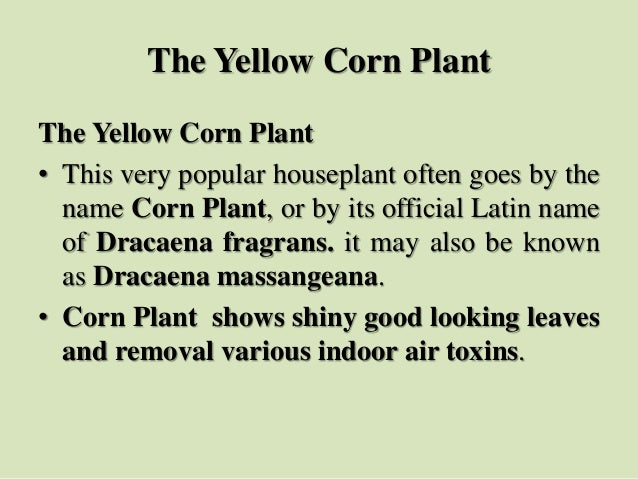 The Yellow Corn Plant The Yellow Corn Plant • This very popular houseplant often goes by the name Corn Plant, or by its of...