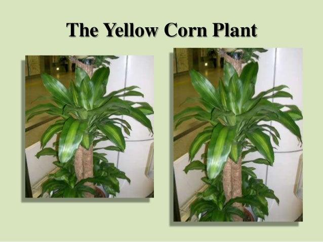 The Yellow Corn Plant