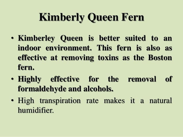 Kimberly Queen Fern • Kimberley Queen is better suited to an indoor environment. This fern is also as effective at removin...