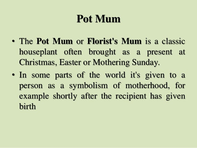Pot Mum • The Pot Mum or Florist's Mum is a classic houseplant often brought as a present at Christmas, Easter or Motherin...