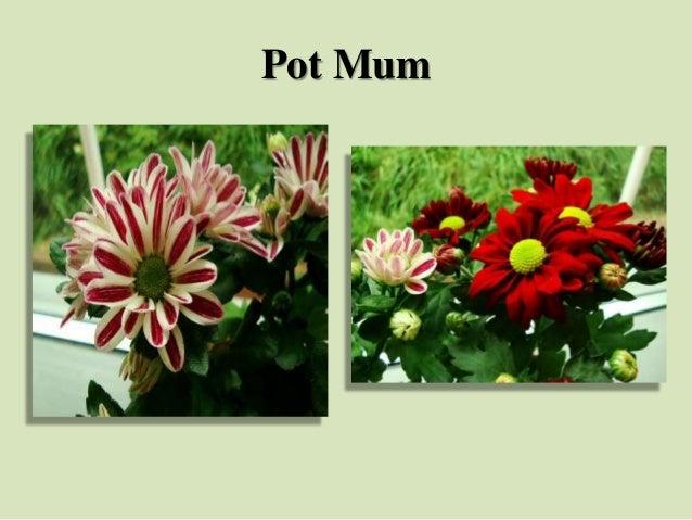 Pot Mum