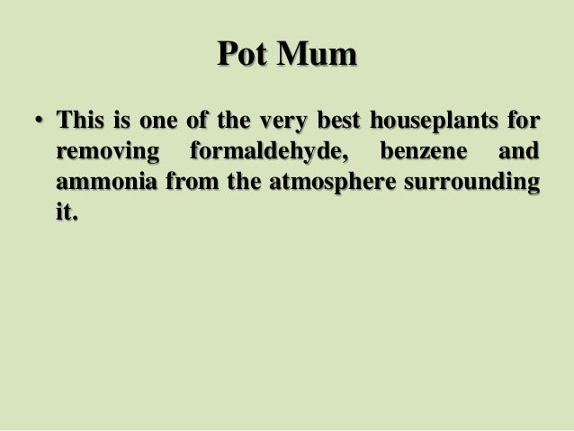 Pot Mum • This is one of the very best houseplants for removing formaldehyde, benzene and ammonia from the atmosphere surr...