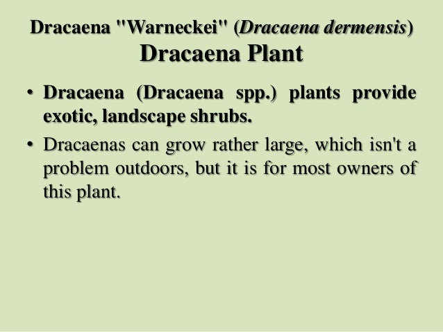 "Dracaena ""Warneckei"" (Dracaena dermensis) Dracaena Plant • Dracaena (Dracaena spp.) plants provide exotic, landscape shrub..."