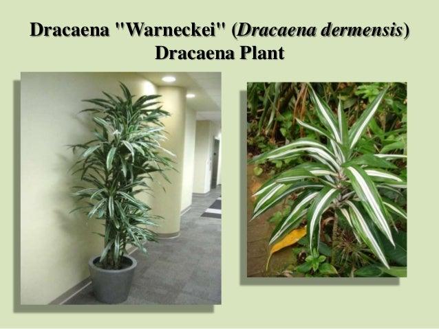 "Dracaena ""Warneckei"" (Dracaena dermensis) Dracaena Plant"