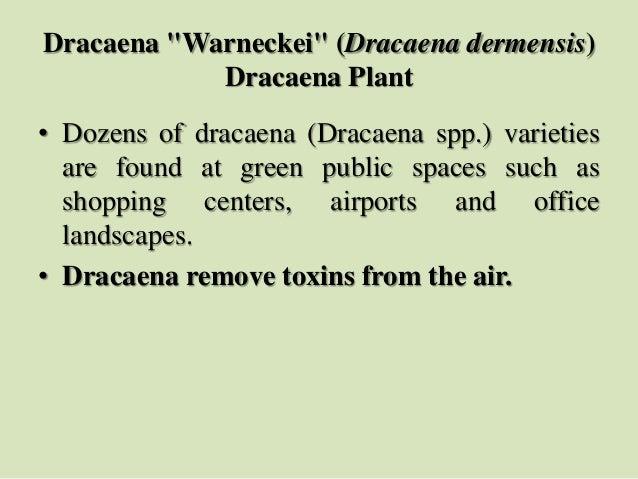 "Dracaena ""Warneckei"" (Dracaena dermensis) Dracaena Plant • Dozens of dracaena (Dracaena spp.) varieties are found at green..."